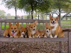 Corgi! Oh my goodness, I would die and be in corgi heaven if I saw this photo op happening!!!