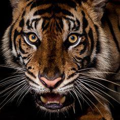 frightening eyes by Syahrul Ramadan, Ana, the female of sumatran tiger.