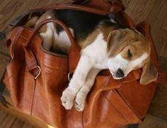 Resultado de imagen para beagle in bag