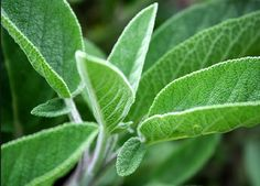 Sage: How to Use - #herbal, #sage, #health