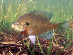 The Bluegill is the state fish of Illinois. It was adopted by Illinois in Gone Fishing, Best Fishing, Fishing Lures, Fishing Stuff, Fishing Humor, Fishing Tips, Freshwater Aquarium, Aquarium Fish, Pond Habitat