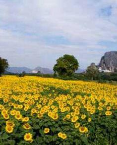 Sunflowers fields in Lopburi Thailand