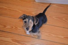 This adorable one-eyed, scruffy terrier-doxie mix is a bundle of love and energetic happiness and up for adoption in #NH through @rollingdogranch #rescue. Any takers?