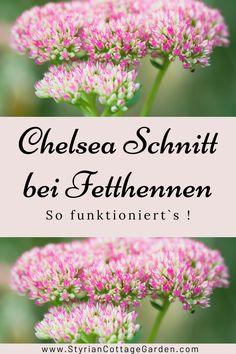 Mit dieser Schnitt Technik die Standhaftigkeit der Pflanzen erhöhen und die Blüte verlängern Chelsea, Herbs, Plants, Shade Perennials, Herb, Plant, Planets, Chelsea Fc