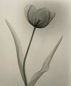 "A Radiologist's X-Ray Photographs of Flowers from the 1930s: Dr. Dain L. Tasker, ""Tulip"" (1931), courtesy Joseph Bellows Gallery"