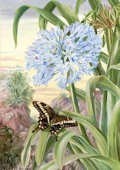 Agapanthus and Swallowtail butterfly. Blue lily and large butterfly, natal. By Marianne North Vintage Botanical Prints, Botanical Drawings, Botanical Illustration, Botanical Flowers, Botanical Art, Marianne North, Largest Butterfly, Art Uk, Beautiful Paintings