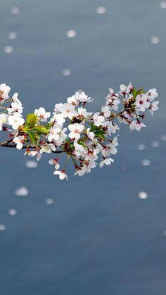 Sakura is the symbol oc flower in Japan. Japanese feel so proud oc it cos it brings everyone awesomeness! Love Flowers, Beautiful Flowers, Cherry Blossom Japan, Cherry Blossoms, Japan Photo, Jolie Photo, Spring Day, Daffodils, Flower Power