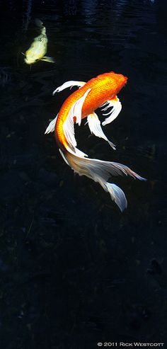 Koi by Rick Westcott, via Flickr