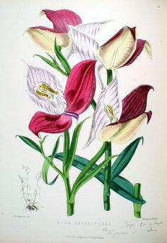 Orquídeas - MFP Desenhos1 - Álbumes web de Picasa