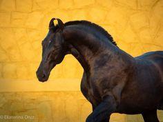 Naagraj By Hansraj Marwari, Stallion Marwari Horses, Dressage Horses, Majestic Horse, Majestic Animals, Equine Photography, Animal Photography, Rare Horse Breeds, Birds In The Sky, Most Beautiful Horses