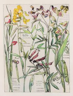 1910 Botanical Print by H. Isabel Adams: Pea Family, Everlasting Pea, Yellow & Crimson Vetchling, Tuberous or Bitter Vetch
