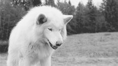 snarling wolf gif