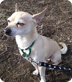 Worcester, MA - Chihuahua Mix. Meet Henry a Dog for Adoption.