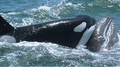 Orcas x baleias: quem vence essa batalha épica? - BBC Brasil