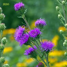 Liatris Ligulistylis is the ultimate monarch magnet to start your Monarch Butterfly Garden. Monarchs literally swarm these native butterfly plants during the monarch migration.