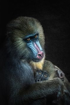 Mother and child - Mandrill with baby in Ouwehands Dierenpark the zoo in Rhenen.