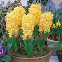Hyacinth Flower Seeds Color Yellow Perennial Pot Plants For Home Garden Hyacinth Flowers, Shade Flowers, Large Flowers, Yellow Flowers, Colorful Flowers, Yellow Perennials, Purple Plants, Healthy Seeds, Bloom