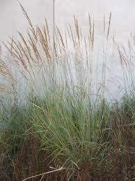 Llano Indian Grass - blue foliage turns bronze in fall; Landscaping Plants, Garden Plants, Colorado Landscaping, Plant Guide, Front Range, Water Wise, Native Plants, Cl, Grass