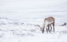 A lone caribou grazes on the windswept Canadian tundra near EKATI, Northwest Territories