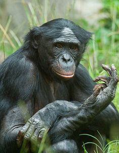 """My friend Robert Alan Shaw has created a new board about the primary family tree. I encourage all of you to follow his very unique profile.  """"Bonobo in contemplation"""""""