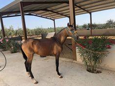 Vendo potro bayo con 26 meses Horses, Animals, Big Horses, Horses For Sale, Seville Spain, Equestrian, Animales, Animaux, Horse