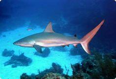 Caribbean Reef Shark: http://www.sharksider.com/caribbean-reef-shark/