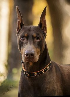 Doberman Weight Chart