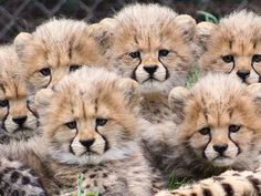 Six cubs, four female and two male, were born to mother Addison and sire Duke on November 2015 at the Cheetah Breeding Center at the San Diego Zoo Safari. Baby Zoo, Cute Baby Animals, Animals And Pets, Nature Animals, Baby Cheetahs, Cheetah Cubs, San Diego Zoo, Animals Of The World, Family Dogs