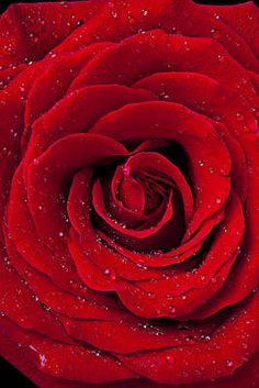 Red Rose With Dew Photograph by Garry Gay - Red Rose With Dew Fine Art Prints and Posters for Sale Red And Black Wallpaper, Black Aesthetic Wallpaper, Rose Wallpaper, Aesthetic Iphone Wallpaper, Red Aesthetic Grunge, Aesthetic Colors, Aesthetic Images, Aesthetic Collage, Burgundy Flowers