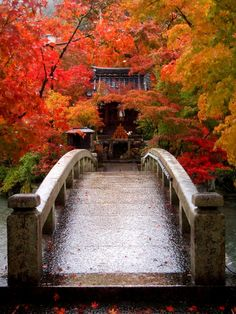 Bridge surrounded by colourful Japanese maples - absolutely stunning!