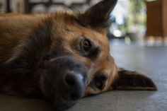 Bomb Dog cansado