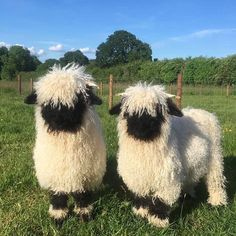 V is for Valais Blacknose Sheep Fluffy Cows, Fluffy Animals, Animals And Pets, Farm Animals, Cute Creatures, Beautiful Creatures, Animals Beautiful, Cute Little Animals, Cute Funny Animals