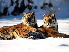 Siberian Tiger | siberian tigers resting in the snow