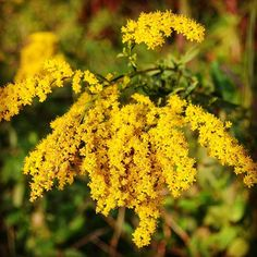 Goldenrod a definite sign of fall. One of the first pictures i took with a dslr. :) by zemanmary