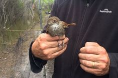 These little birds are so important for biodiversity, a chopper was sent in to save them from fire — ABC News Melbourne Zoo, Rare Birds, Little Birds, Flora, Small Birds, Exotic Birds, Plants