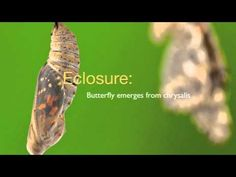 Painted Lady butterflies = life cycle.  Youtube video