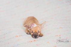 Newborn Puppy Photograph, Chihuahua Puppy, South Florida Photographer, Maternity, Newborn, Family Portraits