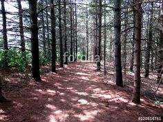 A path, covered in needles, through the pine woods.