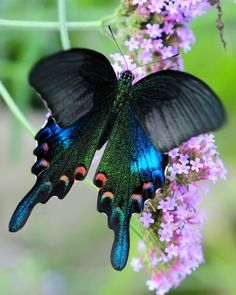 ~~Chinese Peacock Butterfly by AndysLens / Andy Wilson~~