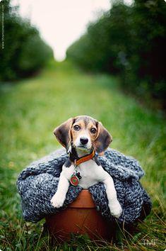 Oh...sweet beagles!  Just love 'em.