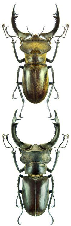 Lucanus nobilis