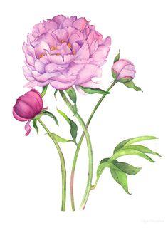 Watercolor illustration of peony