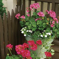 100 Container Gardening Ideas | Pink Geraniums | SouthernLiving.com    Geraniums in full bloom really make an impact. Flowers come in many different colors and may be single or double. Pinch off old, faded blooms to keep new flowers forming.