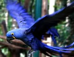 jacintos aves - Buscar con Google