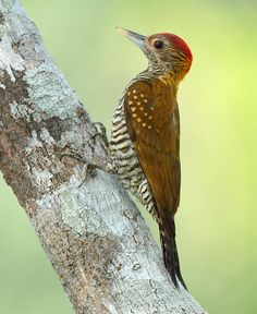 Foto pica-pau-de-colar-dourado (Veniliornis cassini) por Anselmo d`Affonseca | Wiki Aves - A Enciclopédia das Aves do Brasil