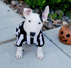 Bull Terrier,  I have no words the cuteness has left me speechless !