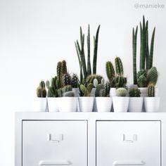 Cactus   @manieke