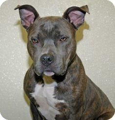 Port Washington, NY - Pit Bull Terrier. Meet Burl a Dog for Adoption.