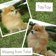 Pomeranian Taytay has been missing from his home in Tulsa  since Dec 17, 2012