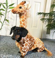 Crusoe the celebrity dachshund 🐶🦒 - Tiere - Puppies Dachshund Costume, Dachshund Funny, Dachshund Puppies, Weenie Dogs, Dapple Dachshund, Cute Puppies, Pet Dogs, Weiner Dog Costume, Doggies